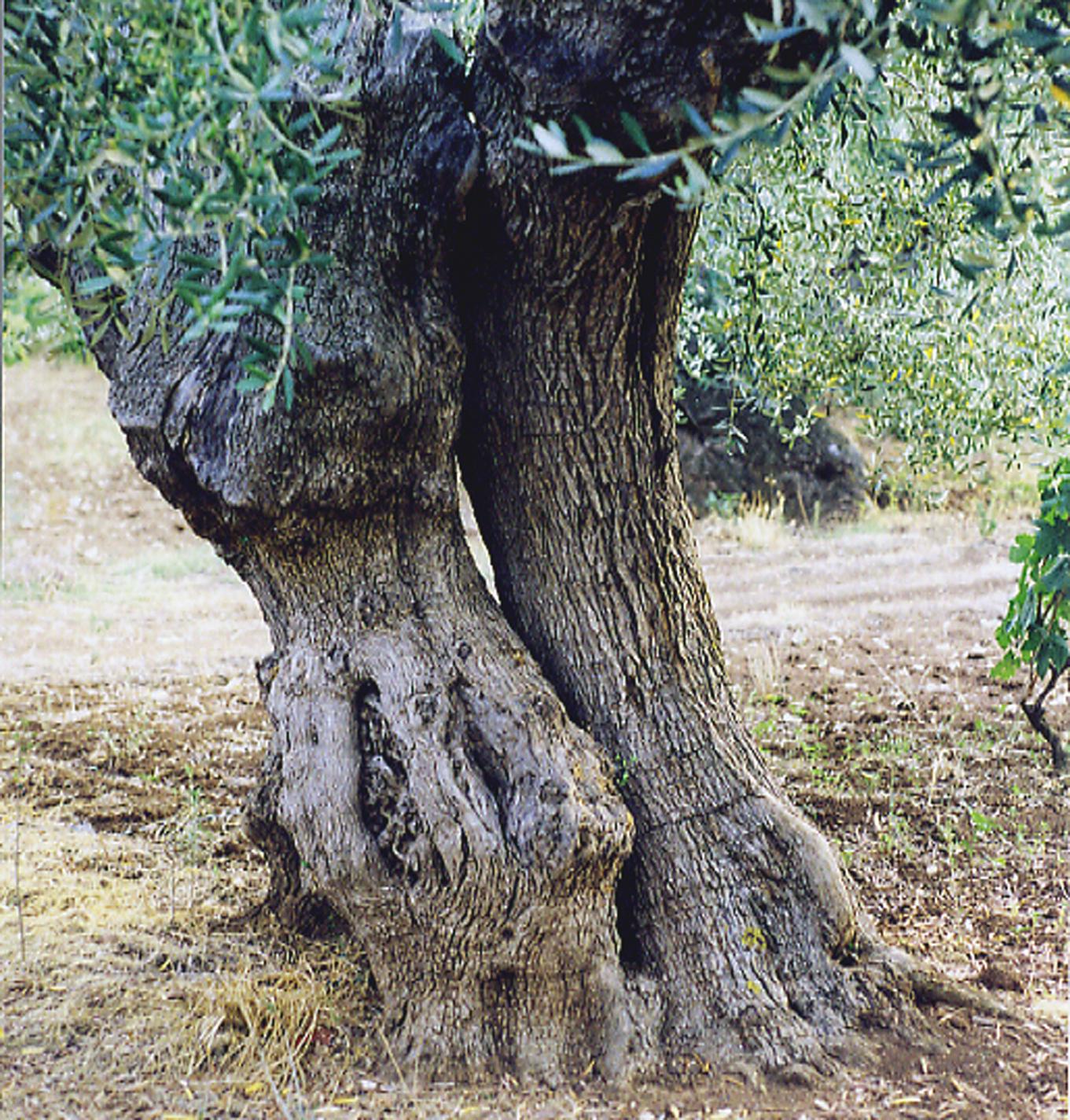 "alt=""ulivo albero"""